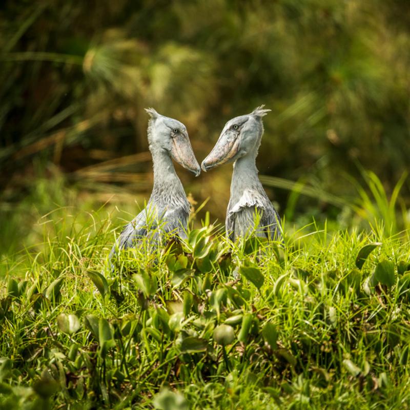Shoebill Birds